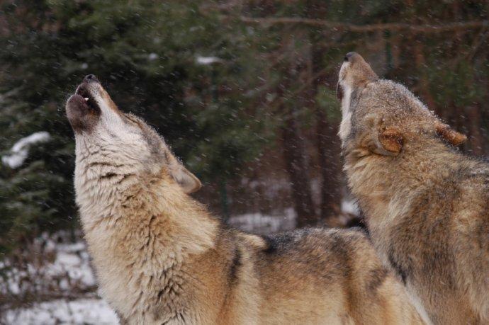 Vlci se stahují do českého pohraničí. Foto: Hnutí DUHA