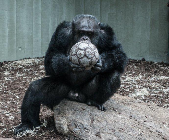 Jestliže šimpanzí střety mají jen lokální charakter apožívají se při nich, pokud vůbec, pouze primitivní zbraně, války lidí vybavených atomovými zbraněmi mohou mít apokalyptické následky. Foto: Daniel Hansen, Unsplash