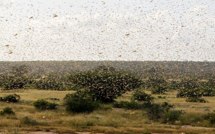 Hejno pouštních kobylek uvesnice Nakwamuru vKeni. Foto:Njeri Mwangi, Reuters