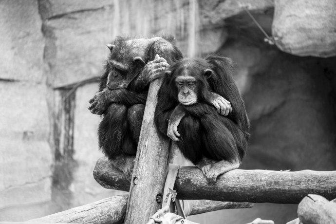 Šimpanzi sdílejí sčlověkem 98procent společných genů apro vědce jsou proto častým předmětem studia. Foto: Sepp Rutz