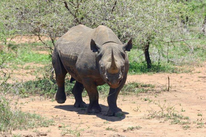 Černý nosorožec. Foto: Pxhere