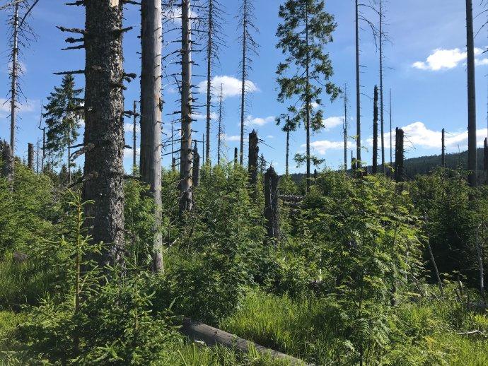 Smrky zemřely, ale les žije dál. Mělo by být na správcích lesa, jestli se oto postará příroda, nebo oni sami. Foto:Jiří Hulcr