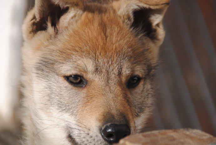 Šalajka vznikla křížením lajky a šakala. Skloubila v sobě ty nejlepší vlastnosti, jaké může služební pes mít. Foto: Ajlinkauhorka, Pixabay