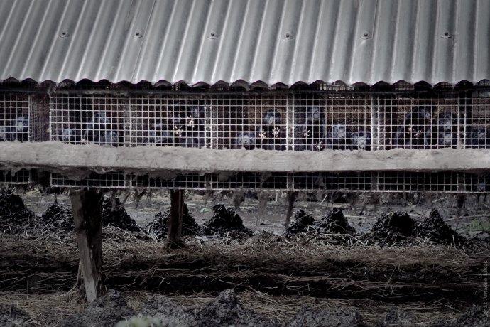 Takhle žije vDánsku sedmnáct milionů norků. Ale brzy už nebude ani jeden. Foto:AnimalDay.org/Flickr CC BY 2.0