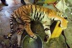 kauza zabíjení tygrů, neoprávněné nakládání s chráněnými zvířaty, tygr, zajištěné stopy, důkazy