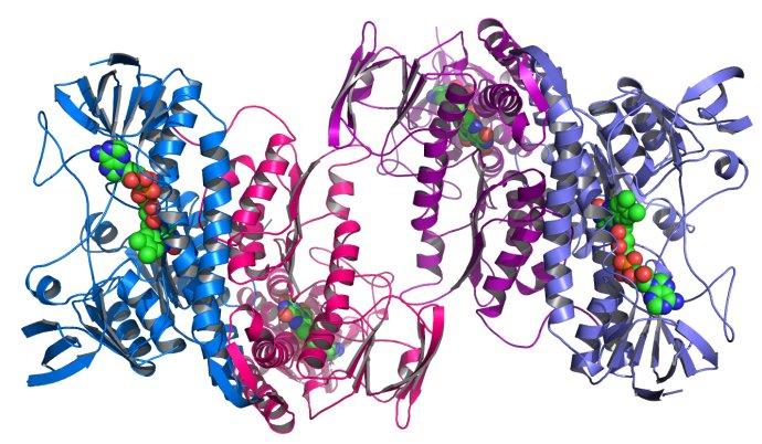 Ukázka prostorové struktury proteinu –enzym dehydrogenáza zbakterie Colwellia psychrerythraea. Foto:Matt Howard– Argonne's Midwest Center for Structural Genomics deposits 1,000th protein structure, CC BY-SA 2.0, https://commons.wikimedia.org/w/index.php?curid=9752165