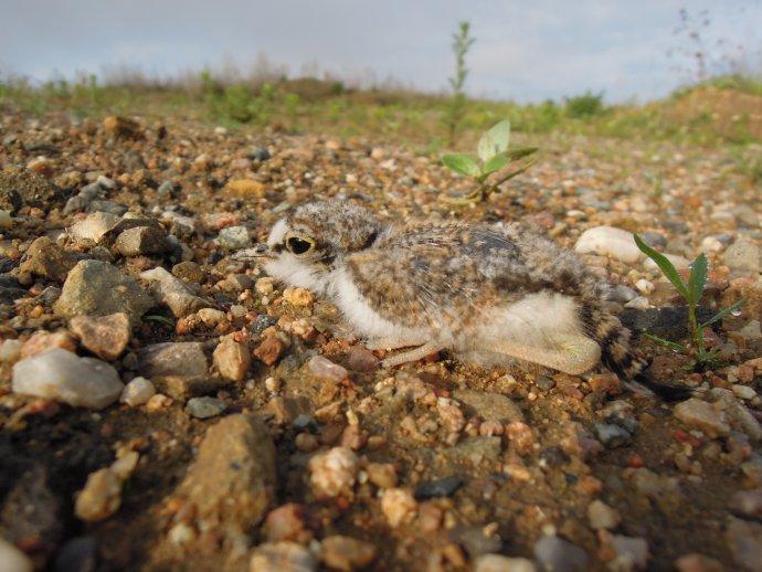 Mládě kulíka říčního, které ornitologové pozorovali v pískovně na Černovické terase v Brně. Foto: Jan Sychra