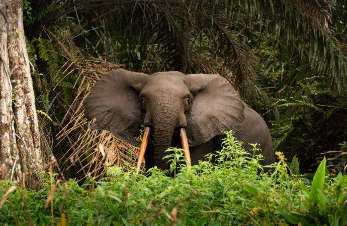 Slon vnárodním parku Loango vGabonu. Foto:jwngshar narzary, EyeEm, Adobe Stock