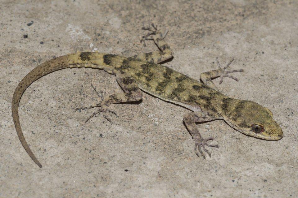Endemický gekon Mediodactylus walli zprovincie Chajbar Paštúnchwá, fotografovaný vChitrale. Foto:archiv Daniela Jablonského
