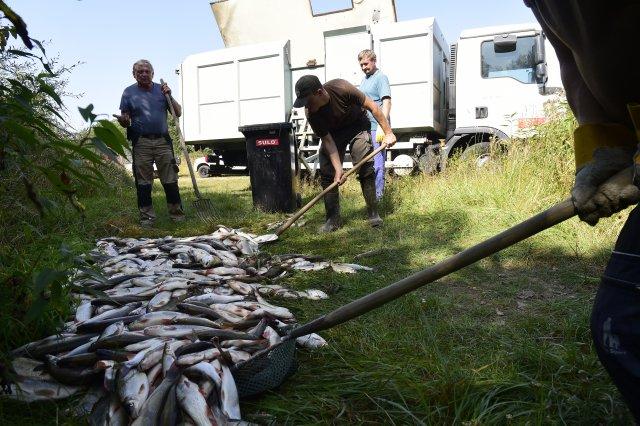 Z otrávené Bečvy rybáři v září 2020 vylovili tuny uhynulých ryb. Foto: ČTK