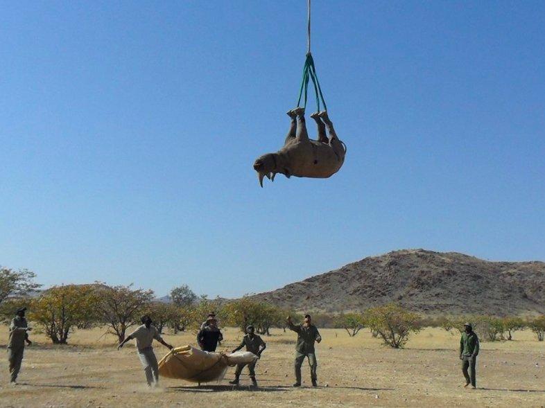 Věšení nosorožců vzhůru nohama. Foto:Namibisjké ministerstvo životního prostředí.